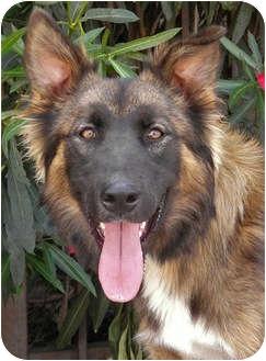 German Shepherd Dog Mix Puppy for adoption in Los Angeles, California - Dexter von Lancaster
