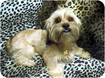 Lhasa Apso Mix Dog for adoption in Los Angeles, California - KEANU