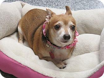Dachshund/Chihuahua Mix Dog for adoption in Houston, Texas - Mona Lisa
