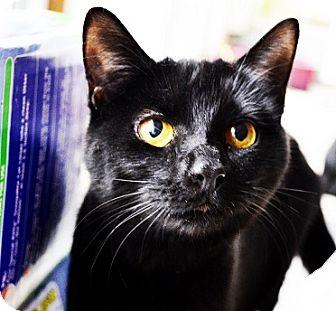 Domestic Shorthair Cat for adoption in Xenia, Ohio - Maggie