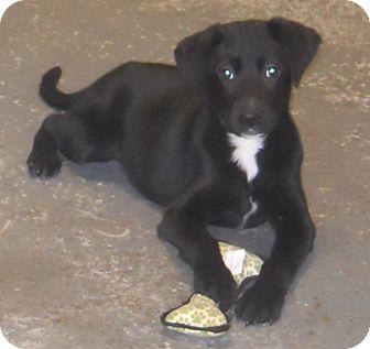 Labrador Retriever Mix Puppy for adoption in Belvidere, Illinois - Sadie
