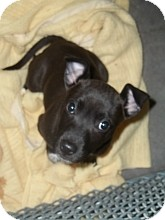 Pit Bull Terrier Mix Puppy for adoption in Silver City, New Mexico - Quiggly