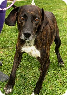 Plott Hound Mix Dog for adoption in Harrisonburg, Virginia - Arlo