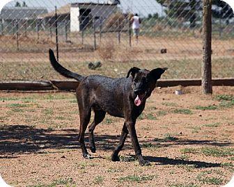 Labrador Retriever Mix Dog for adoption in Las Cruces, New Mexico - Coco