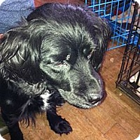 Cocker Spaniel Mix Dog for adoption in Chicopee, Massachusetts - Maggie May - Sponsor Only