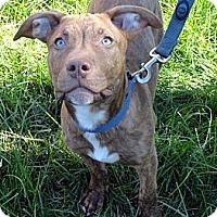 Adopt A Pet :: Graham - Reisterstown, MD