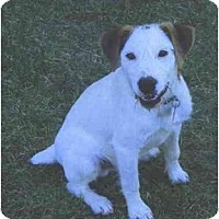 Adopt A Pet :: SCOOBY - Scottsdale, AZ