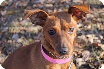 Miniature Pinscher Mix Dog for adoption in Waldorf, Maryland - Faith