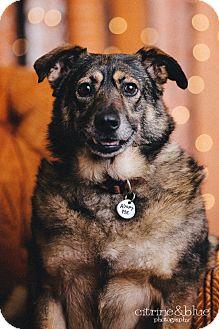 German Shepherd Dog/Sheltie, Shetland Sheepdog Mix Dog for adoption in Portland, Oregon - Sasha