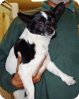 Rat Terrier/Chihuahua Mix Dog for adoption in McDonough, Georgia - Kia