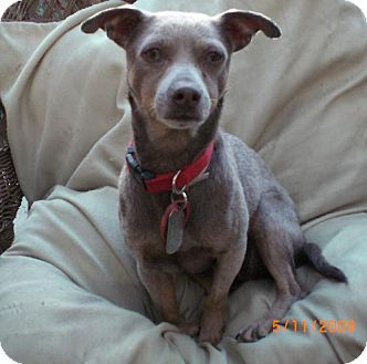 Miniature Pinscher/Italian Greyhound Mix Dog for adoption in Long Beach, California - Loki
