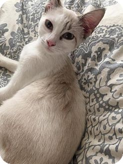 Siamese Cat for adoption in Flower Mound, Texas - Cali