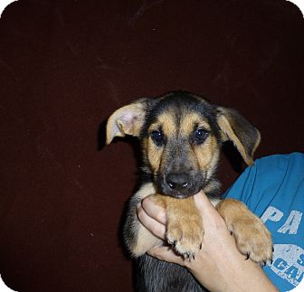 German Shepherd Dog/Labrador Retriever Mix Puppy for adoption in Oviedo, Florida - Razz