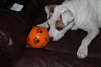 Jack Russell Terrier Mix Dog for adoption in Earl, North Carolina - Beau
