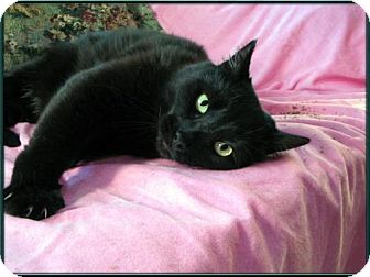 Domestic Shorthair Cat for adoption in Wakefield, Massachusetts - Jellybean