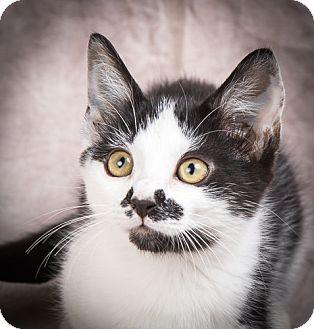 Domestic Shorthair Kitten for adoption in Anna, Illinois - PATIENCE