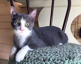 Domestic Shorthair Kitten for adoption in Spencer, New York - Supercat