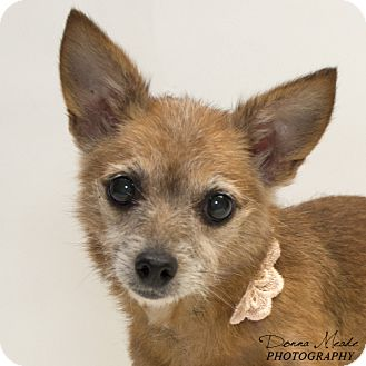 Chihuahua Mix Dog for adoption in Troy, Ohio - LuLu