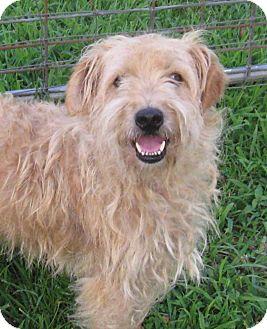 Schnauzer (Standard)/Wirehaired Fox Terrier Mix Dog for adoption in Marlborough, Massachusetts - Eli