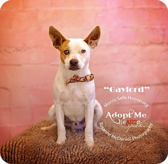Jack Russell Terrier Mix Dog for adoption in Lubbock, Texas - Gaylord