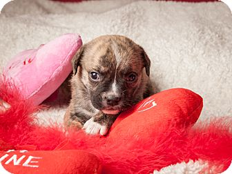 Pug/Beagle Mix Puppy for adoption in Dallas, Texas - Paris