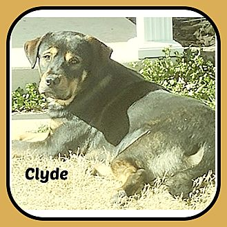 Black and Tan Coonhound/Mountain Cur Mix Dog for adoption in Malvern, Arkansas - CLYDE