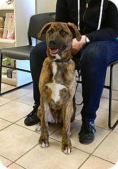 Shepherd (Unknown Type)/Hound (Unknown Type) Mix Puppy for adoption in Emeryville, California - HARRY