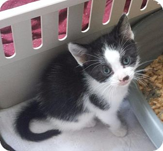 Domestic Shorthair Kitten for adoption in Freeport, New York - Oreo