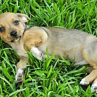 Adopt A Pet :: Manuel - San Antonio, TX