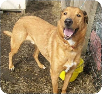Greyhound/Collie Mix Dog for adoption in Marseilles, Illinois - Caleb the Charmer