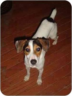 Fox Terrier (Smooth) Mix Dog for adoption in Houston, Texas - Eddie