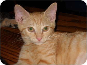 Domestic Shorthair Kitten for adoption in Frederick, Maryland - Mari