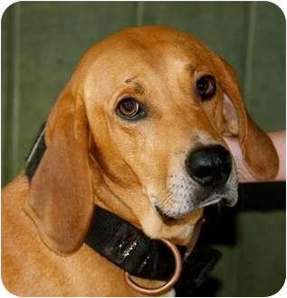Redbone Coonhound Mix Dog for adoption in Spring Valley, New York - Ben