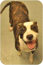 Boxer Mix Dog for adoption in Gainesville, Florida - Coco