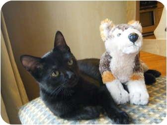 Bombay Kitten for adoption in Snohomish, Washington - IVY
