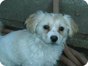 Jack Russell Terrier/Cocker Spaniel Mix Puppy for adoption in Atascadero, California - Curly Sue