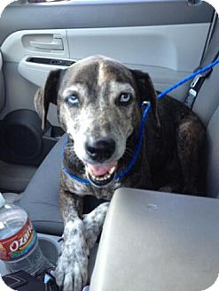 Catahoula Leopard Dog Mix Dog for adoption in Ft. Collins, Colorado - Dolly
