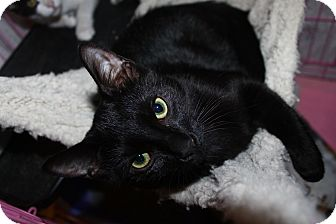 Domestic Shorthair Cat for adoption in North Branford, Connecticut - Karma