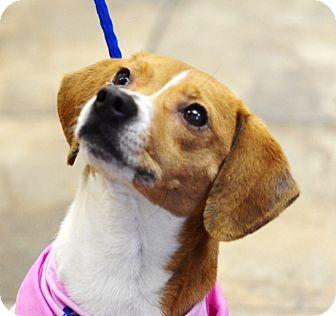 Beagle Mix Dog for adoption in Birmingham, Alabama - Jackie