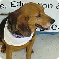 Beagle Mix Dog for adoption in Dumfries, Virginia - Leah