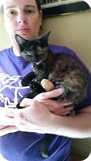 Domestic Shorthair Kitten for adoption in Webster, Massachusetts - Triss