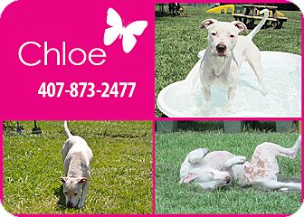 Pit Bull Terrier Mix Dog for adoption in Orlando, Florida - Chloe