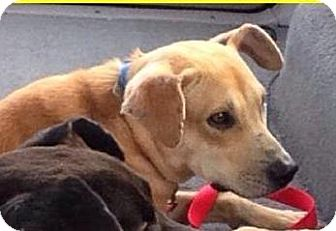 Labrador Retriever/Pit Bull Terrier Mix Dog for adoption in Olympia, Washington - Peter