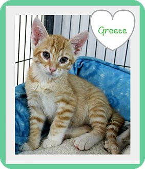 Domestic Shorthair Kitten for adoption in Covington, Louisiana - Greese