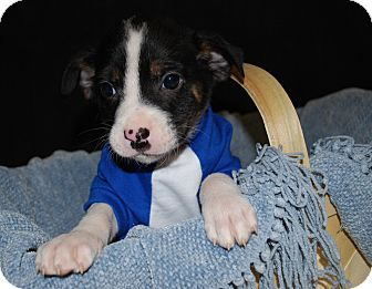 Collie/Terrier (Unknown Type, Small) Mix Puppy for adoption in Waupaca, Wisconsin - Chevy