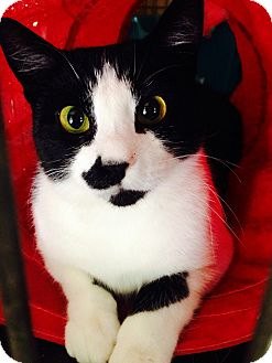 Domestic Shorthair Cat for adoption in Smithers, British Columbia - Mooka