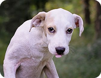 Labrador Retriever Mix Puppy for adoption in Lewisville, Indiana - Lily