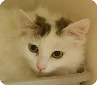 Norwegian Forest Cat Kitten for adoption in San Fernando Valley, California - Elsa