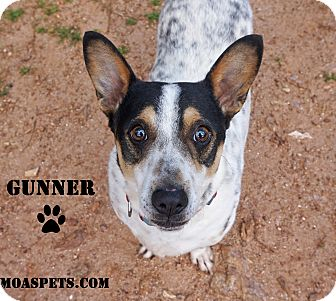 Jack Russell Terrier/Corgi Mix Dog for adoption in Danielsville, Georgia - Gunner