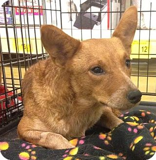 Australian Cattle Dog Dog for adoption in Gainesville, Florida - Tandy